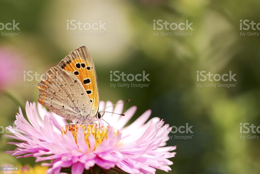 Asters with buttefly royalty-free stock photo