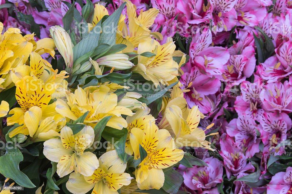 Asthromelias - Alstroemeria - Astromelia Flowers – zdjęcie