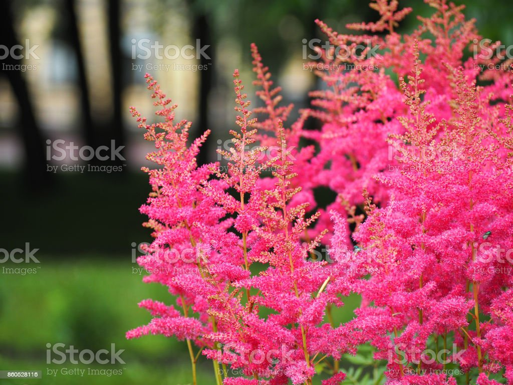 Astilba in the park. Pink fluffy flowers astilba astilbe, Saxifragaceae family stock photo