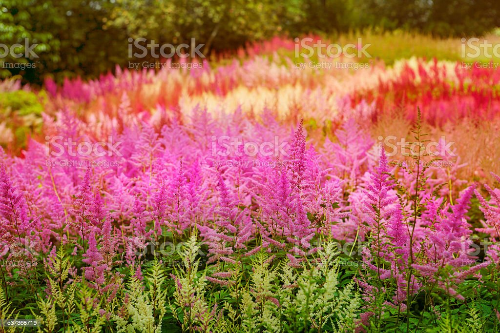 Astilbe at Holehird Gardens stock photo