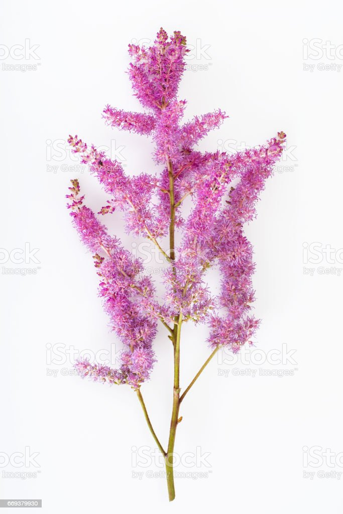 Astilbe cut flower stock photo
