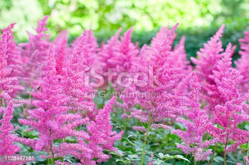 Astilbe plant (also called false goat's beard and false spirea) with pink feathery plumes of flowers growing in the garden