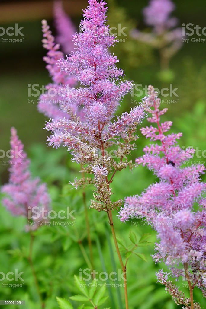 Astilbe Flower stock photo