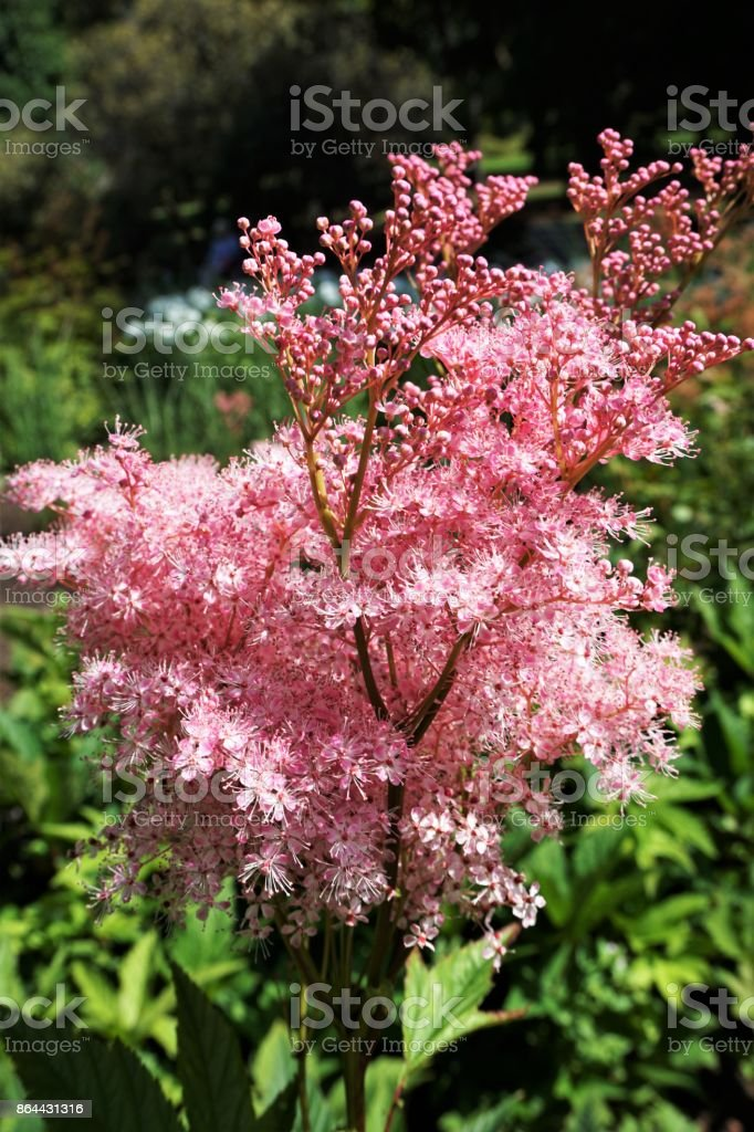 Astilbe in flower stock photo
