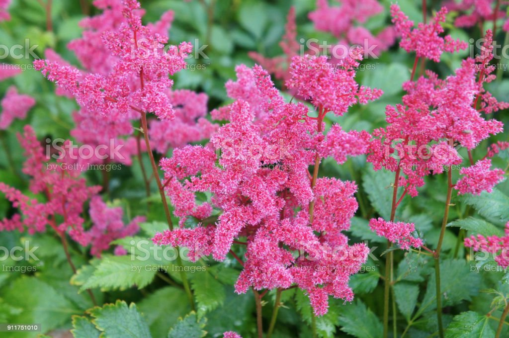 Astilbe japonica red flowers with green  leaves stock photo