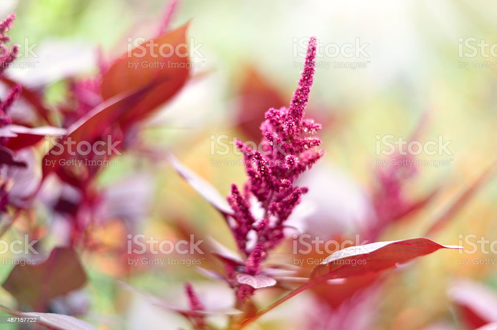 Astilbe or meadowsweet stock photo