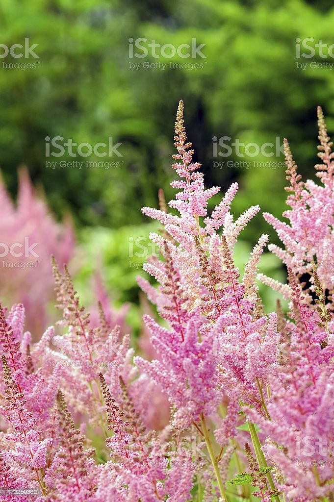 Astilbe stock photo