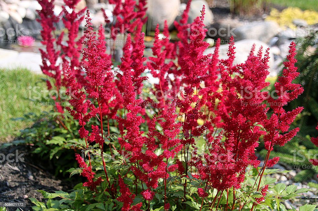 Astilbe Plant - Quebec, Canada stock photo