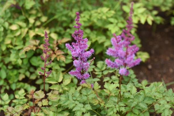 Astilbe Yunnanensis produces purple flowers in summer in Saxifragaceae perennial plant native to Yunnan, China. – zdjęcie