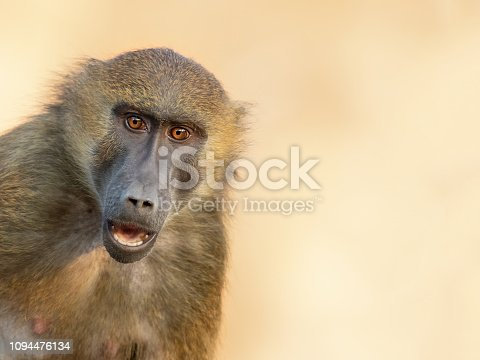 Portrait of an astonished Guinea baboon (Papio papio)