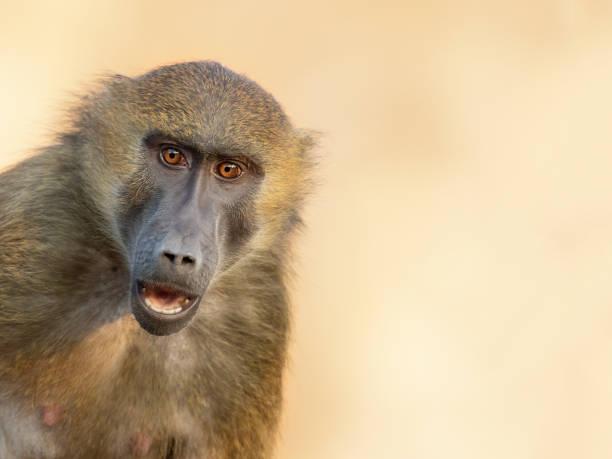 Astonished Guinea baboon stock photo