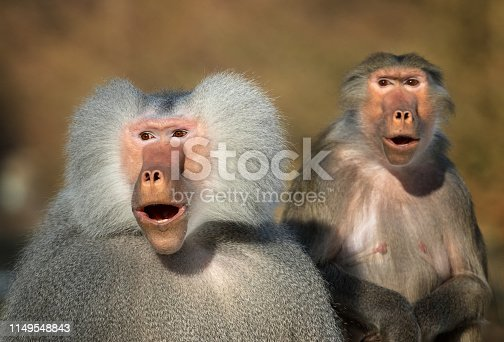 Astonished looking pair of hamadryas baboons.