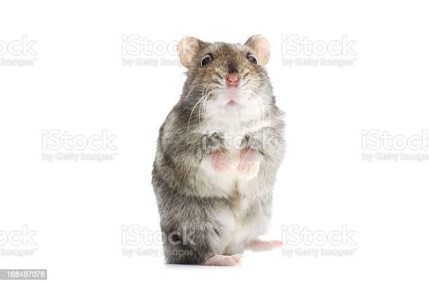 Astounded djungarian hamster picture id168497076?b=1&k=6&m=168497076&s=612x612&h=fjyunf27kiaeah 4svvpd4ebilx3d u7gzdw9vzm ro=