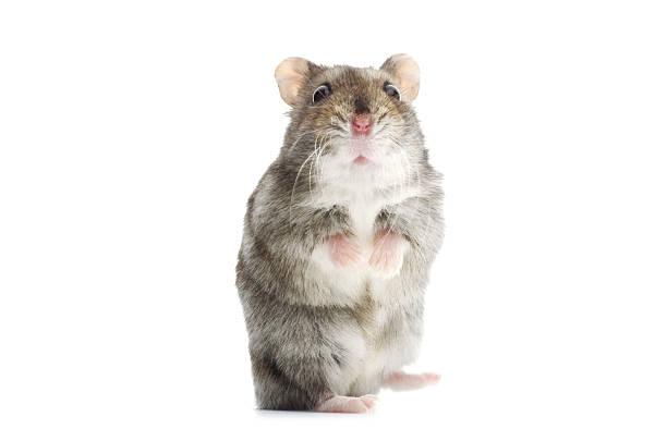 Astounded djungarian hamster picture id168497076?b=1&k=6&m=168497076&s=612x612&w=0&h=az8ehhoh5j9ku0ix1ia2bym8jqlbukt8vhiqc2sgrpc=