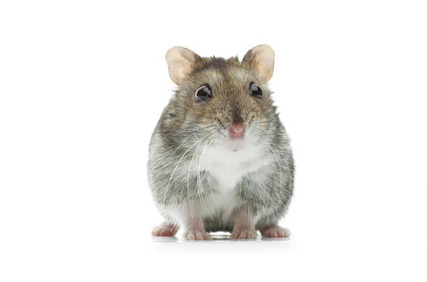 Astounded djungarian hamster picture id173234035?b=1&k=6&m=173234035&s=612x612&w=0&h=nvaeoc3pmdmeqgdm s0asddttpfp wqw0kon8t8gapk=