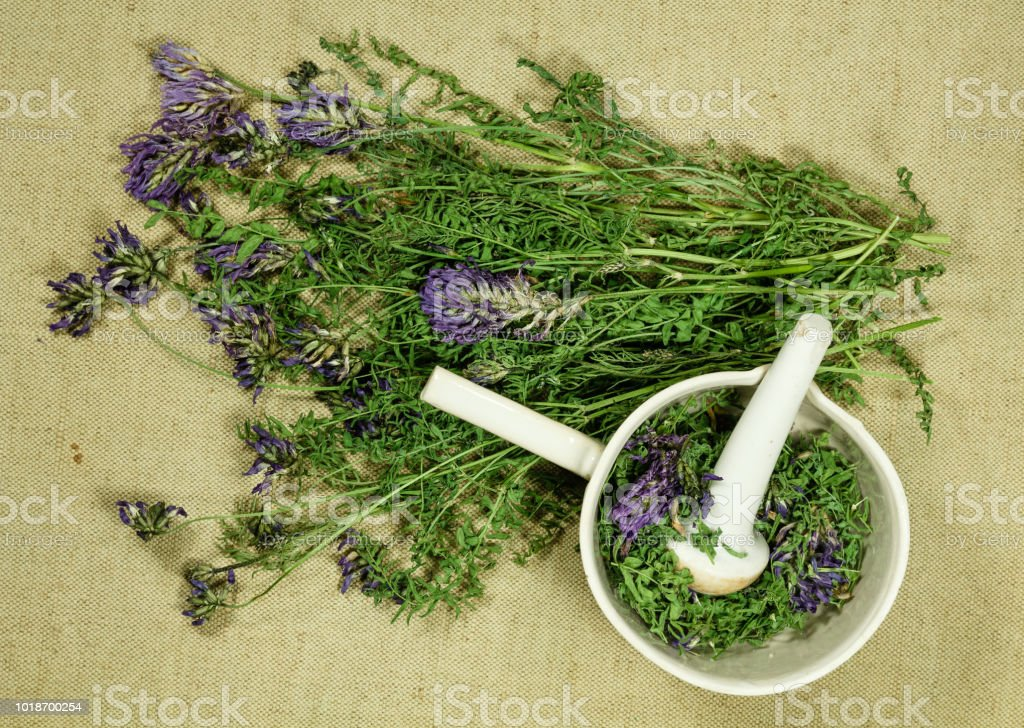 Astragalus dasyanthus. Dry herbs for use in alternative medicine,...