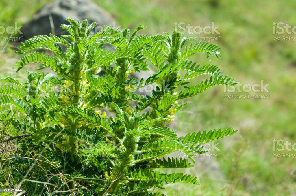 Astragalus. milkvetch. goat's-thorn. vine-like. astragalus sieversianus. stock photo