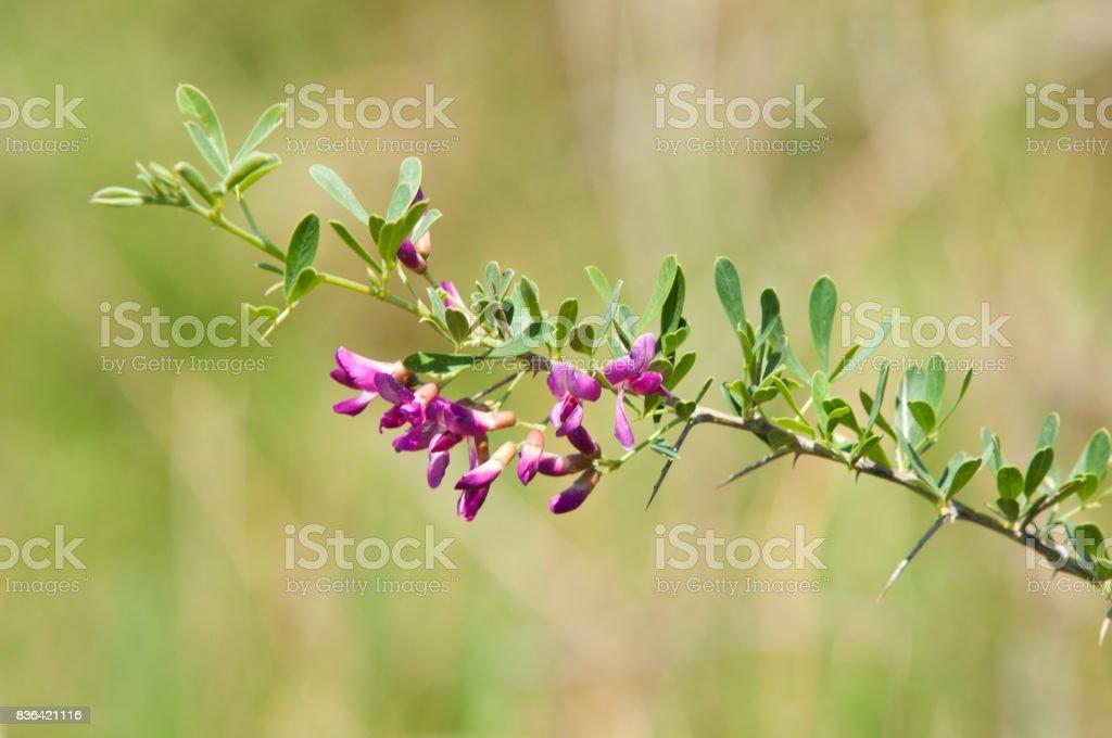Astragalus polyceras stock photo