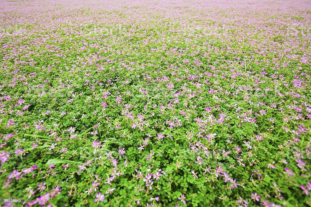 Astragalus sinicus royalty-free stock photo