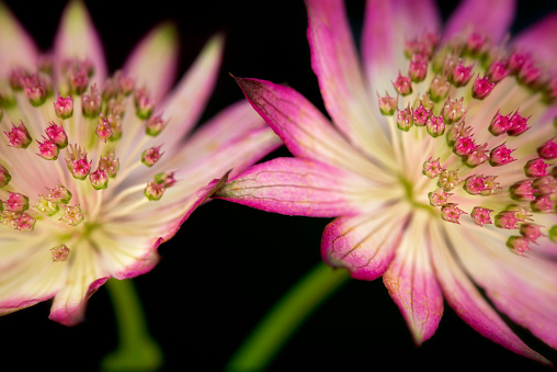 Astrantia flower beautiful floral  from sweden nature