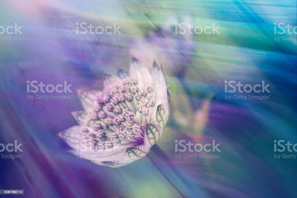 Astrantia major flower,masterwort, textured multicolored background stock photo