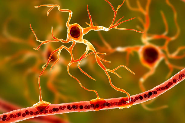 Astrocyte and blood vessel stock photo