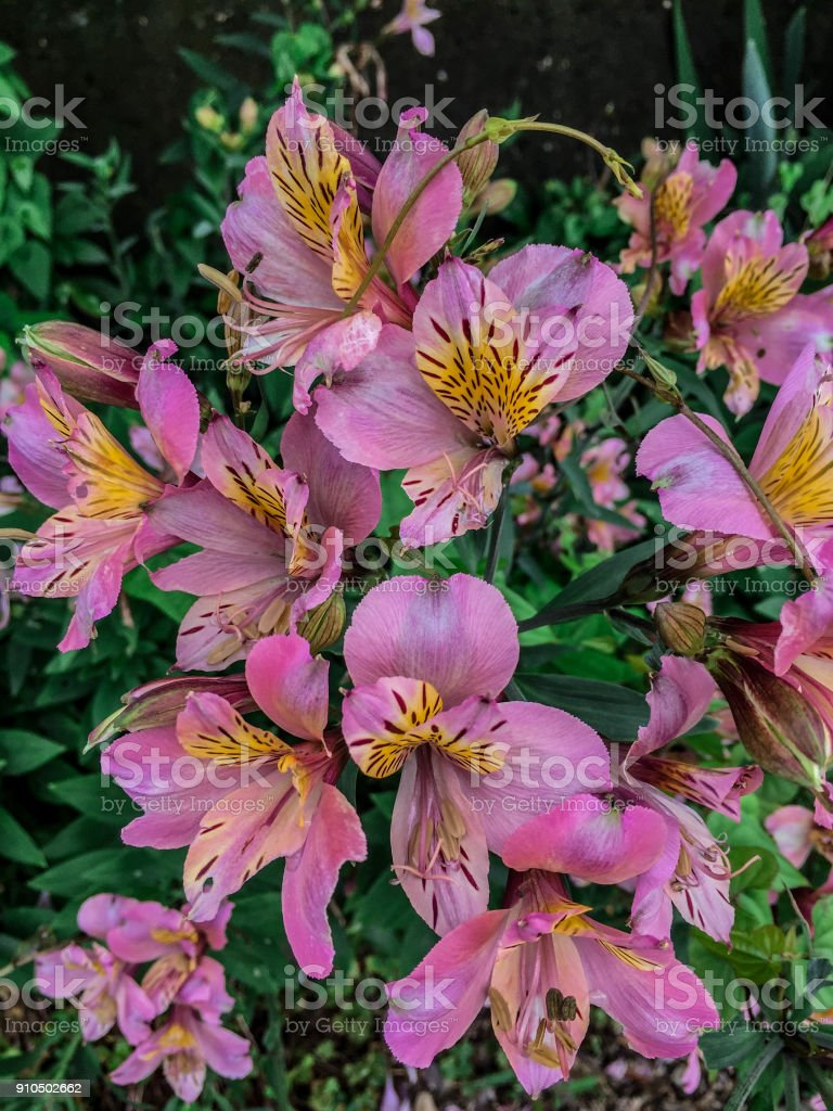 Astroemeria-Lily of the lncas stock photo