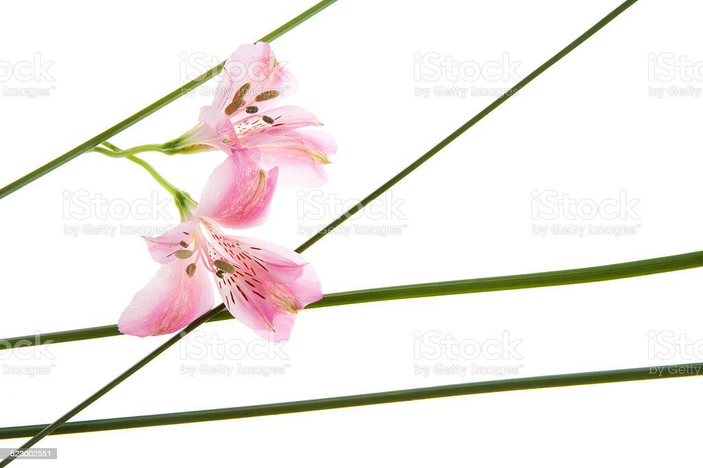 Astromelia Kwiat puste – zdjęcie