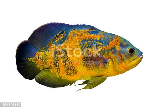 Astronotus ocellatus. Oscar fish (Astronotus ocellatus) swimming underwater. oscar fish isolated on white background