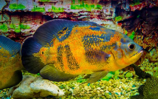 astronotus ocellatus. oscar fisch (astronotus ocellatus) schwimmen unter wasser - oscar filme stock-fotos und bilder