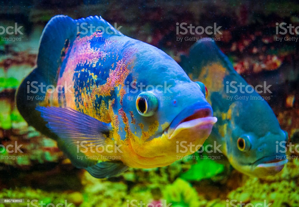 Astronotus Ocellatus Oscar Fish Swimming Underwater Stock Photo