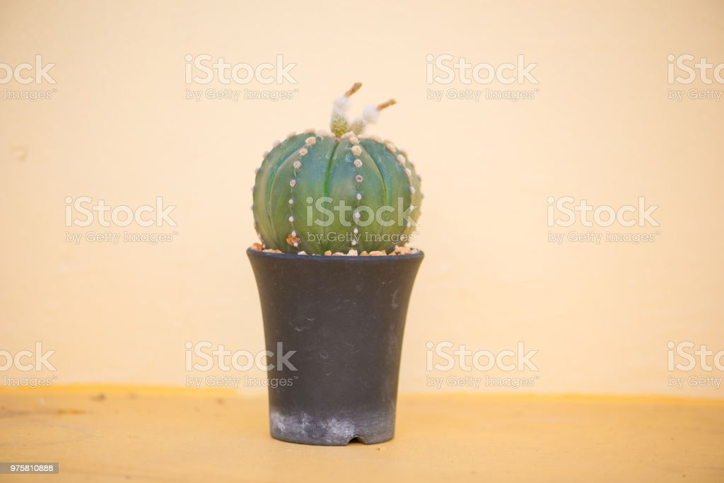 Astrophytum Asterias oder Sanddollar Kaktus - Lizenzfrei Bildhintergrund Stock-Foto