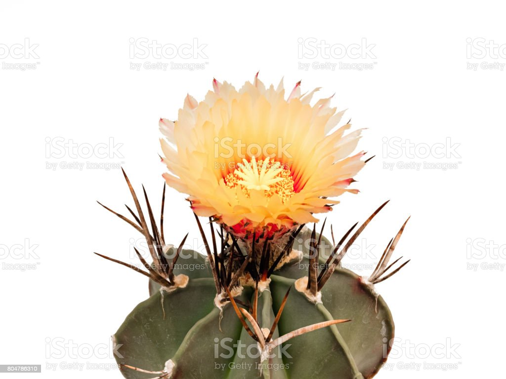 Astrophytum mytostigma blooms in orange, isolated stock photo