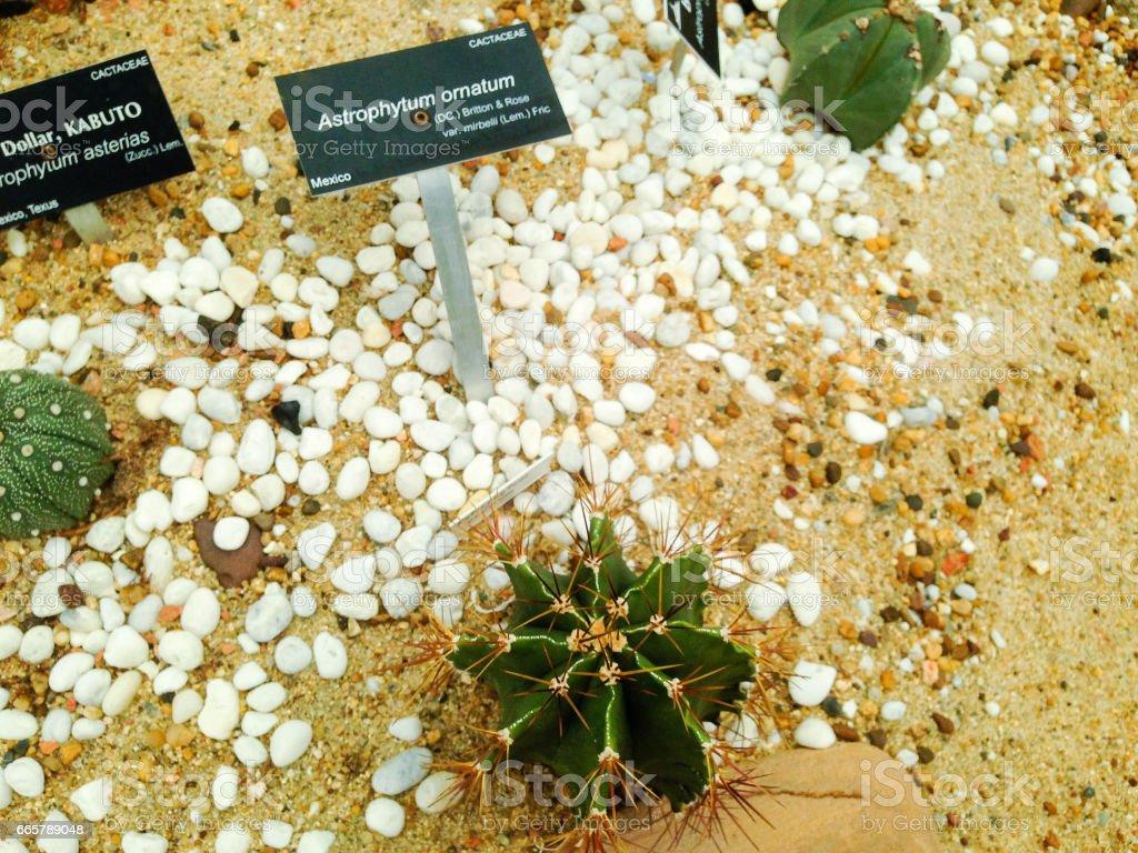 Astrophytum ornatum stock photo