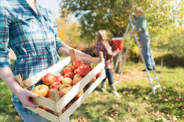 At A Family Farm An unrecognizable woman carrying crate full of ripe apples while her parents picking apples from a tree in the back. apple orchard stock pictures, royalty-free photos & images