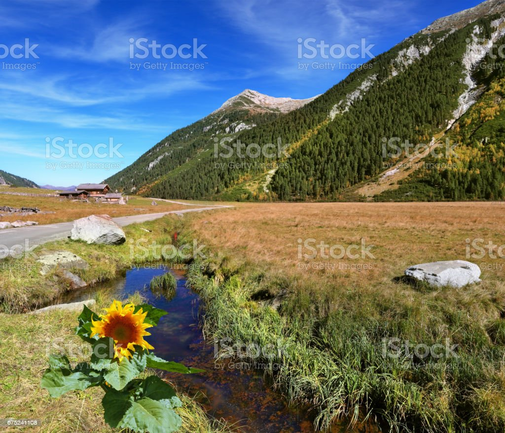 At a stream the sunflower grew stock photo