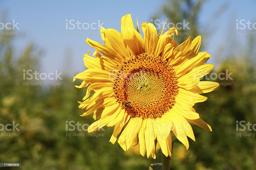 At last, the sun. Sunflower royalty-free stock photo