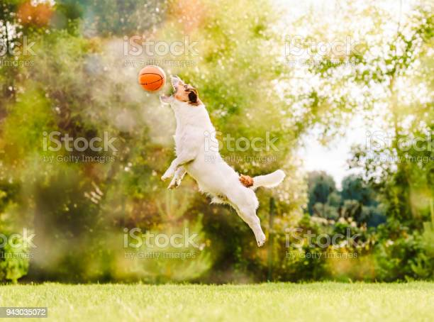 At sunny summer day dog jumps to catch flying toy basketball ball picture id943035072?b=1&k=6&m=943035072&s=612x612&h=pzoqojmkxpigexgtcgnq7idlbn4ypmaflopoonbh140=