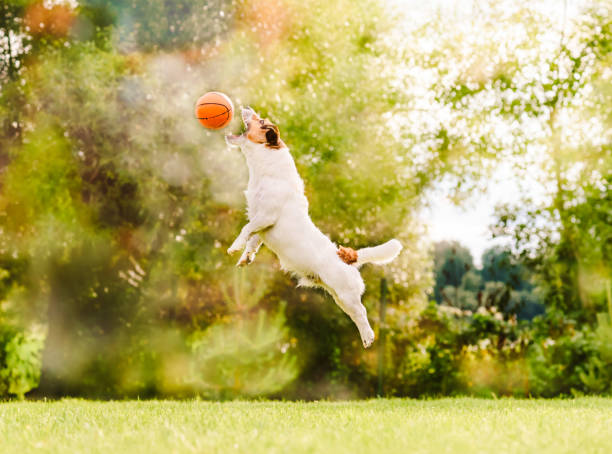 At sunny summer day dog jumps to catch flying toy basketball ball picture id943035072?b=1&k=6&m=943035072&s=612x612&w=0&h=sfafbamvhxv5baxxi6d o9qnjoihemdvq 4lgzlbrc4=