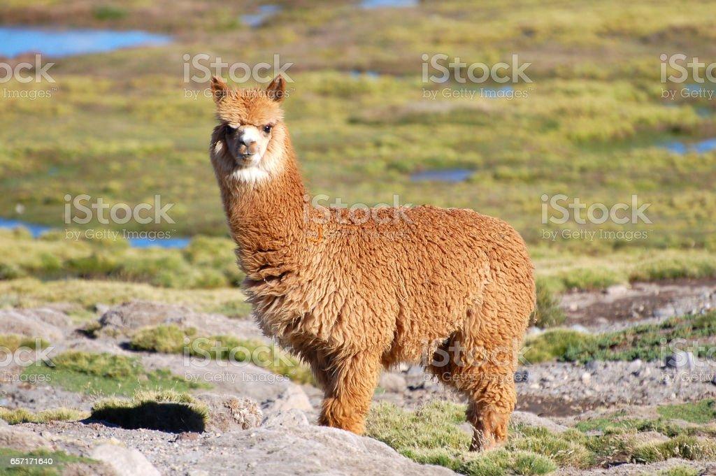 De camera kijkt Alpaca in de Andes van Chili foto