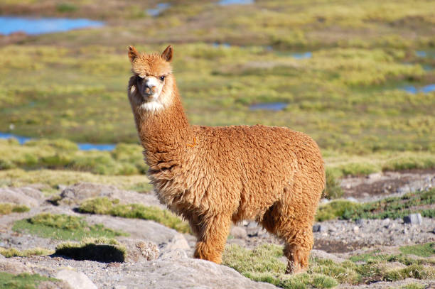 At the camera looking Alpaca in the Andes of Chile stock photo