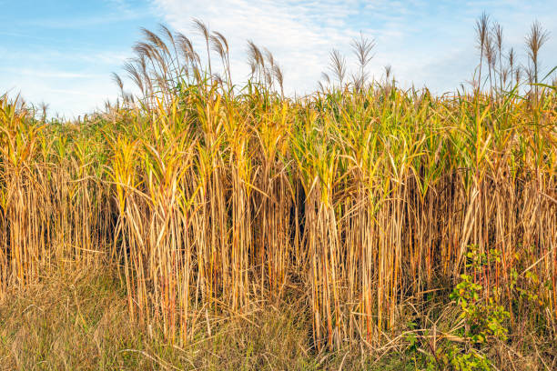 at the edge of mature yellow elephant grass or miscanthus giganteus plants in a dutch field - miscanthus sinensis foto e immagini stock