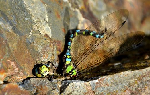 在夏天結束時饑餓的黃蜂攻擊蒼蠅並經常擊敗他們當黃蜂咬著頭 快樂地飛翔時 戰鬥往往以勝利結束無頭的身體躺在岩石上 照片檔及更多 不誠實 照片