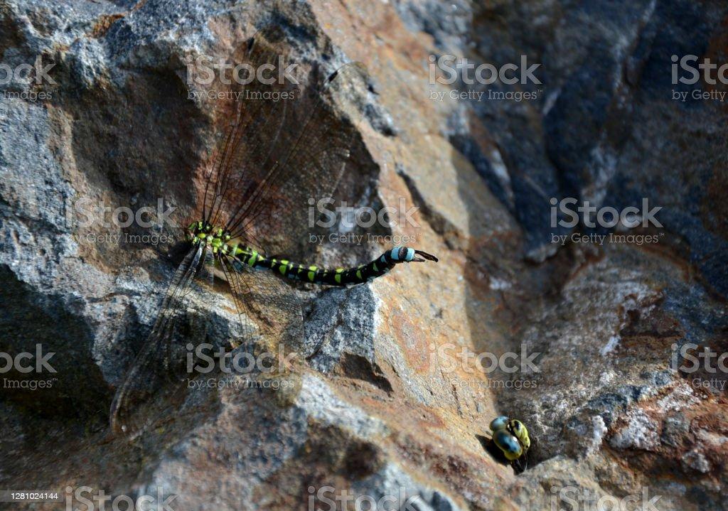 在夏天結束時,饑餓的黃蜂攻擊蒼蠅,並經常擊敗他們。當黃蜂咬著頭, 快樂地飛翔時, 戰鬥往往以勝利結束。無頭的身體躺在岩石上。 - 免版稅不誠實圖庫照片