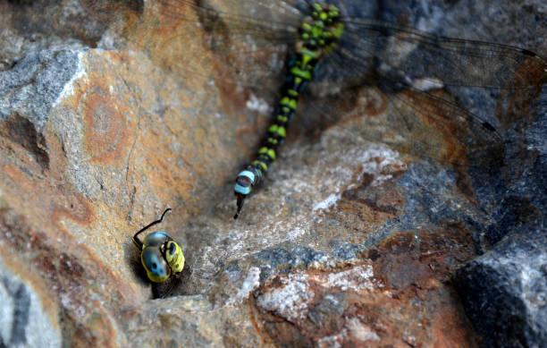 在夏天結束時,饑餓的黃蜂攻擊蒼蠅,並經常擊敗他們。當黃蜂咬著頭, 快樂地飛翔時, 戰鬥往往以勝利結束。無頭的身體躺在岩石上。 - murder hornet 個照片及圖片檔