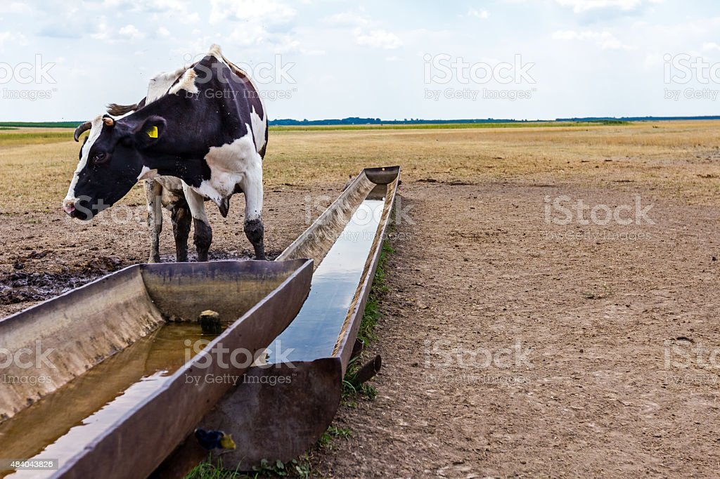 At the water trough stock photo