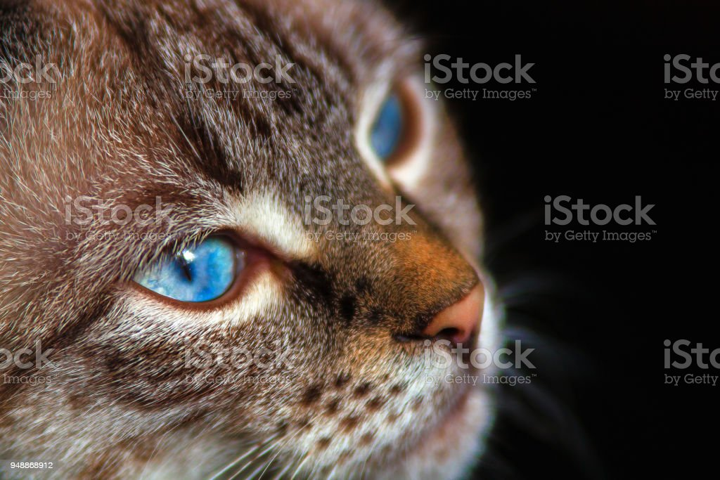 at with blue eyes against a dark background. stock photo