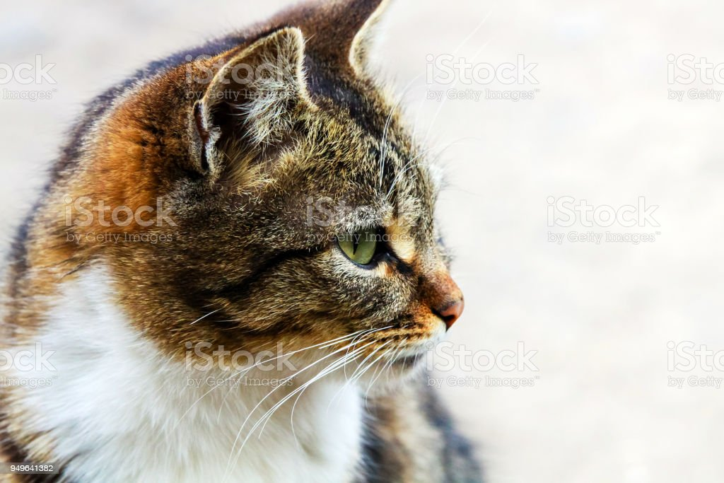 at with green eyes against a gray background. stock photo