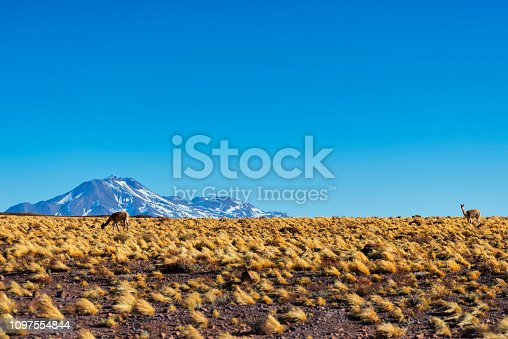 Atacama desert with snow capped mountains with vicunas grazing