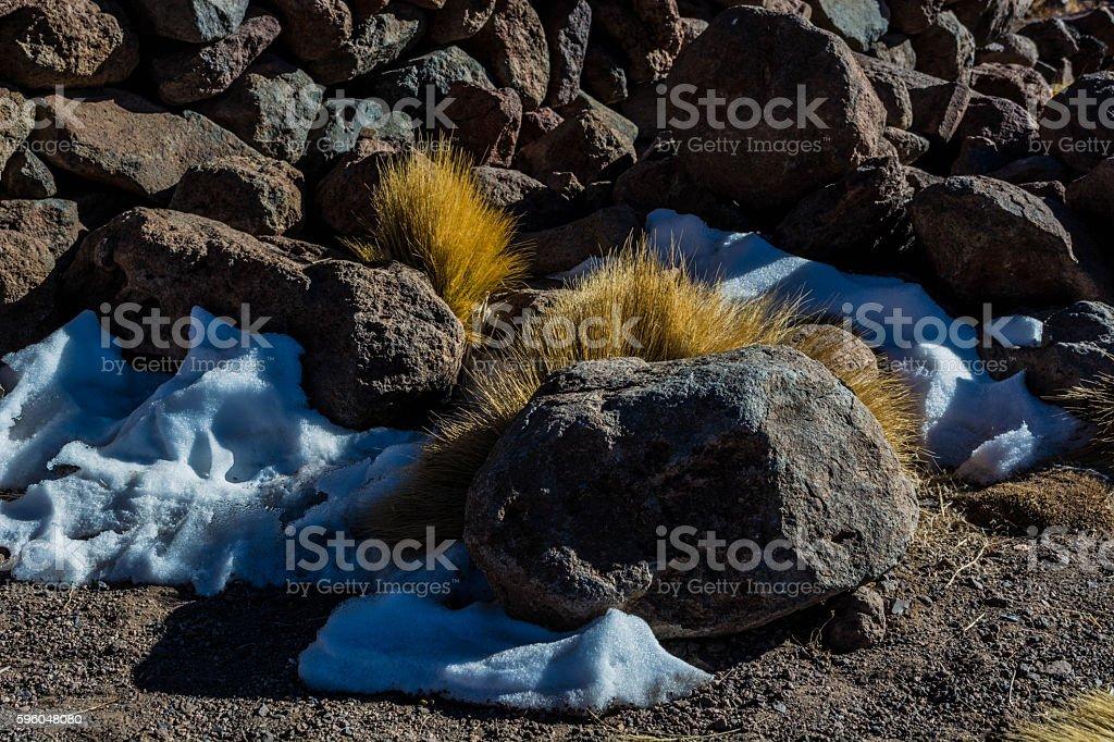 Atacama desert vegetation royalty-free stock photo